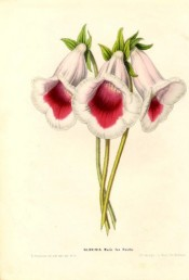 Figured are slipper gloxinias with white flowers with large crimson stripe at the base.  Flore des Serres pl.610, 1850.
