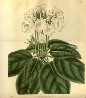 Shown are the large ovate leaves and an umbel of slipper-shaped pure white flowers.  Curtis's Botanical Magazine t.3206, 1833.