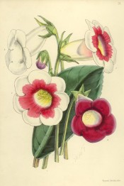 Figured are four slipper gloxinias, three pink and white and one pure white.  Fitch (Floral Magazine), 1861.