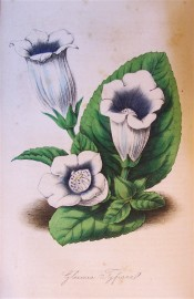 Figured are leaves and upright-pointing white flowers, flushed blue in the throat.  Floricultural Cabinet p.49, 1847.