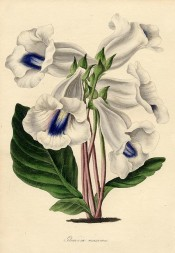 Figured is a white slipper gloxinia with a broad purple stripe at the base.  Paxton's Magazine of Botany p.219, 1838.