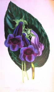 Figured are the large, velvety, deep purple flowers and luxuriant foliage.  Paxton's Magazine of Botany p.267, 1846.