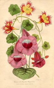 Figured is a slipper gloxinia with red flowers and red and yellow tropaeolum.  Floricultural Cabinet p.98, 1841.