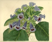 Depicted is a gloxinia with small, blue, slipper-type flowers with a purplish throat.  Botanical Register f.213, 1817.