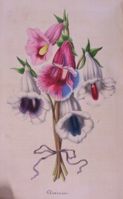 Shown are a number of slipper gloxinias, one with variegated pink, red and blue flowers.  Flore des Serres pl. VI, p.268, 1847.