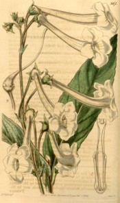 Figured are lance-shaped leaves and long-tubed white flowers.  Curtis's Botanical Magazine t.3971, 1842.