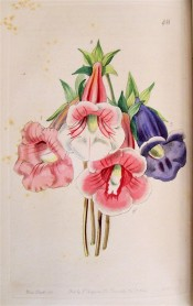 Figured are four slipper gloxinias, three pink and white and one purple.  Botanical Register f.48, 1844.