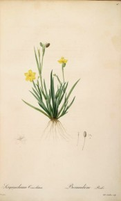 Figured is the whole plant, roots, leaves and yellow flowers.  Redout? Les Liliac?es pl.47/1802-15.