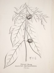 The line drawing shows leaves and flowers.  Flora Fluminensis vol.5, tab.100/1827.