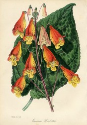 Figured is a zebra-marked leaf and tubular red and yellow flowers.  MB/1847.