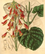 Figured are heart-shaped leaves with purple veins, and scarlet and yellow flowers.  Curtis's Botanical Magazine t.3940, 1842.