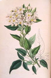Figured is a climber with ovate leaves and terminal cyme of starry white flowers.  Botanical Register f.1739, 1835.