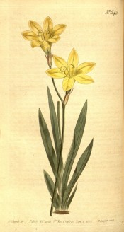 Figured are a basal fan of leaves and yellowish cream, trumpet-shaped flowers.  Curtis's Botanical Cabinet t.545, 1802.