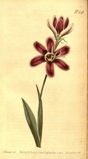 Figured are lance-shaped leaves and purple-red salverform flowers.  Curtis's Botanical Magazine t.541, 1801.