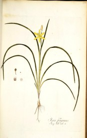 Figured are wiry leaves and small bright yellow flowers.  Jacqin IPR pl.274, 1781-93.