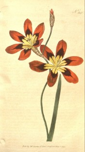 Shown is a lance-shaped leaf and orange flowers, marked brown and yellow in the centre. Curtis's Botanical Magazine t.381, 1797.