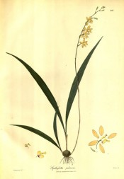 Figured are pseudobulb, lance-shaped, narrow leaves and slender raceme of yellow flowers.  Wallich pl.203, 1802.
