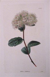 Shown are elliptic leaves, serrated at the tips, and corymbs of pinkish-white flowers.  Loddiges Botanical Cabinet no.671, 1822.