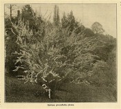 The photograph shows an arching shrub with long corymbs of white flowers.  Florist?s Exchange vol.42, p.21, 1916.