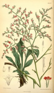 Figured are tufted, oblong leaves and dense sprays of small red flowers.  Curtis's Botanical Magazine t.6537, 1881.