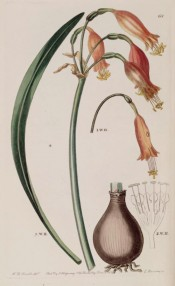 Shown are bulb and leaf and umbel of vase-shaped deep pink flowers.  Botanical Register f.68, 1839.