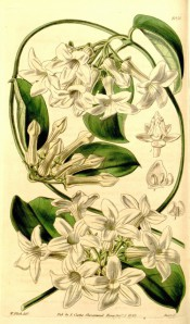 Figured is a climber with glossy, oval leaves and cymes of waxy white starry flowers.  Curtis's Botanical Magazine t.4058, 1843.