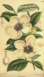 Figured are toothed, ovate leaves and creamy-white, cup-shaped flowers.  Curtis's Botanical Magazine t.8145, 1907.