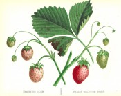 2 strawberries are figured, 1 with a pinkish fruit the other red-fruited. Album de Pomologie, vol. 3, p.20, 1850.