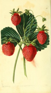 Figured is a strawberry with 3-lobed, toothed leaves and conical red fruits. Pomological Magazine t.47, 1828.