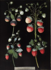 4 strawberries are figured, all with ripe, red fruit and unripe, white or green fruit. Pomona Britannica pl.2, 1812.