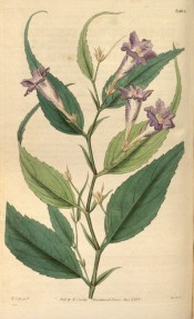 Figured are lance-shaped, toothed leaves, and tubular blue flowers.  Curtis's Botanical Magazine t.3404, 1835.
