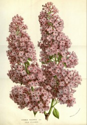 Figured are dense, conical panicles of small, single star-shaped rosy-pink flowers.  Flore des Serres f.1481-1482, 1859.