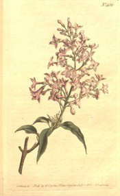 Figured are leaves and a loose, conical panicle of small, single rosy-pink flowers.  Curtis's Botanical Magazine t.486, 1800.