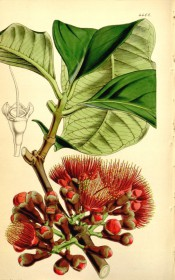 Figured are elliptic leaves and clumps of bright red, brush-like flowers.  Curtis's Botanical Magazine t.4408, 1848.