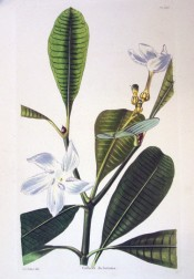 The figure shows glossy, oblong leaves and star-like white flowers.  Loddiges' Botanical Cabinet  no.1516, 1829.