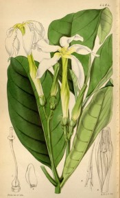 The figure shows glossy, oblong leaves and long-tubed white flowers.  Curtis's Botanical Magazine  t.4484, 1849.