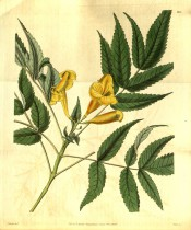Figured are pinnate leaves and upright panicle of yellow trumpet-shaped flowers.  Curtis' Botanical Magazine t.3191, 1832.