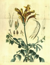 Shown are the toothed, slender leaflets and raceme of tubular, orange and scarlet flowers.  Botanical Register f.1117, 1828.