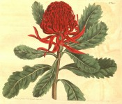 Shown are obovate, toothed leaves and globular flower head of many bright red flowers.  Curtis's Botanical Magazine t.346, 1796.