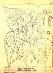 The figure is a line drawing of leaves, flowers, flower parts and fruits.  Wight vol.1 pl.8, 1840.