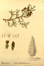Figured are leaves, cones and seeds + drawing of mature tree.  Medicinal Plants  vol.2, pl.165, 1892.