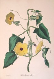 Illustrated are the heart-shaped leaves and black-eyed yellow flowers.  Paxton's Magazine of Botany p.2, 1835.