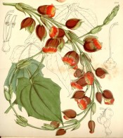 Climber with heart-shaped leaves and bright red tubular flowers.  Curtis's Botanical Magazine t.5124, 1859.
