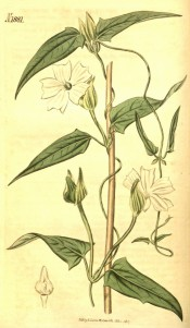 Figured is a climber with triangular leaves and solitary salverform white flowers.  Curtis's Botanical Magazine t.1881, 1817.