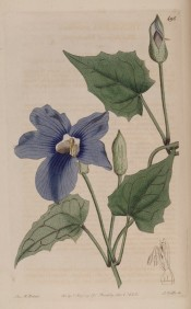 Figured are somewhat lobed, lance-shaped leaves and blue flowers.  Botanical Register f.495, 1820.