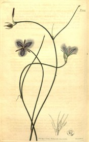 Figured are wiry stems and blue-purple fringed flowers.  Curtis's Botanical Magazine t.2351, 1822.