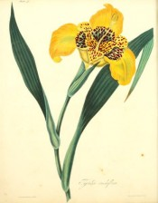 Shown are lance-shaped leaves and yellow iris-like flower with red markings.  Roscoe pl.41, 1831.