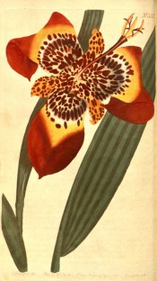 Shown are lance-shaped leaves and red and yellow iris-like flower with red markings.  Curtis's botanical Magazine t.532, 1801.