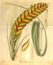 Figured is a flowering spike with dense red and yellow bracts and a long pointed leaf. Curtis's Botanical Magazine t.3275, 1833.