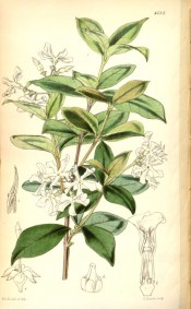 The figure shows a shoot with shiny, ovate leaves and star-like white flowers.  Curtis's Botanical Magazine  t.4737, 1853.